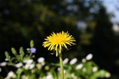 желтый цвет одуванчика одного Стоковое Фото