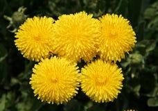 Желтый цвет одуванчиков стоковая фотография rf