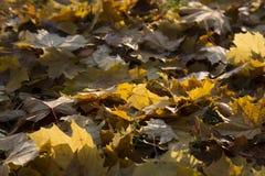 желтый цвет парка листва падения дня осени солнечный Стоковые Изображения RF