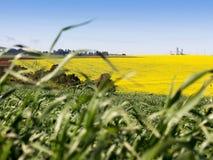 желтый цвет полей зеленый Стоковые Фото
