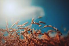 желтый цвет пшеницы солнечного света колосков поля Стоковые Изображения