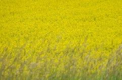 желтый цвет рапса поля стоковое фото