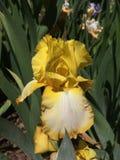 желтый цвет радужки белый Стоковое Изображение RF