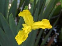 желтый цвет радужки цветка Стоковые Фотографии RF
