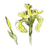желтый цвет радужки цветка Стоковая Фотография RF