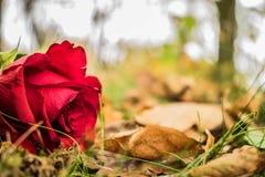 желтый цвет розы цветков окружающей среды стоковые изображения rf