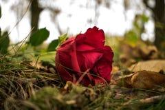 желтый цвет розы цветков окружающей среды стоковые фотографии rf