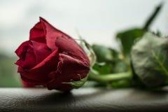 желтый цвет розы цветков окружающей среды стоковые фото