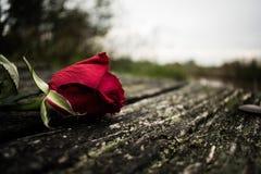 желтый цвет розы цветков окружающей среды стоковые изображения