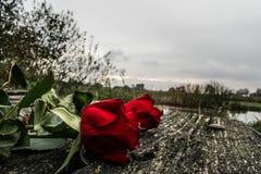желтый цвет розы цветков окружающей среды стоковое изображение