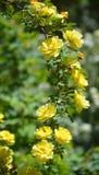 желтый цвет розы цветков окружающей среды Стоковое Изображение RF