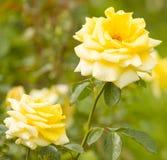 желтый цвет роз 2 Стоковые Изображения