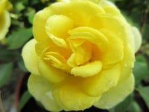 желтый цвет 4 роз стоковая фотография rf