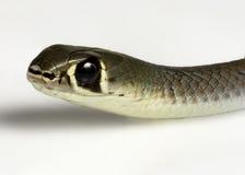 Желтый цвет смотрел на змейку хлыста Стоковые Фотографии RF