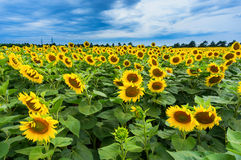 желтый цвет солнцецвета солнца поздним летом цветка центра поля пчелы яркий Стоковое фото RF