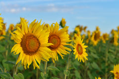 желтый цвет солнцецвета солнца поздним летом цветка центра поля пчелы яркий Стоковое Фото