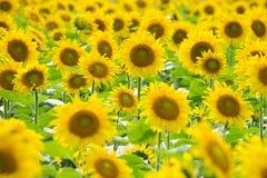 желтый цвет солнцецвета солнца поздним летом цветка центра поля пчелы яркий Стоковые Изображения