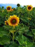 желтый цвет солнцецвета солнца поздним летом цветка центра поля пчелы яркий Стоковая Фотография RF