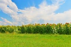 желтый цвет солнцецвета солнца поздним летом цветка центра поля пчелы яркий Стоковые Фотографии RF
