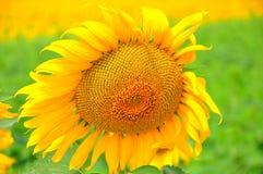 желтый цвет солнцецвета солнца поздним летом цветка центра поля пчелы яркий Красивые солнцецветы зацветая на поле расти Стоковые Изображения