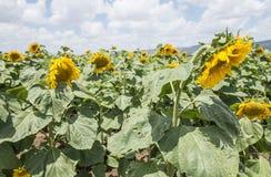 желтый цвет солнцецвета солнца поздним летом цветка центра поля пчелы яркий Стоковые Фото