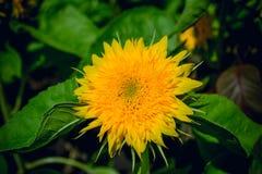 желтый цвет солнцецвета солнца поздним летом цветка центра поля пчелы яркий Стоковая Фотография