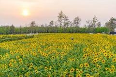 желтый цвет солнцецвета солнца поздним летом цветка центра поля пчелы яркий Стоковые Изображения RF