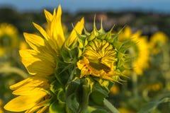 желтый цвет солнцецвета солнца поздним летом цветка центра поля пчелы яркий время захода солнца рискованного предприятия выдержки Стоковое фото RF