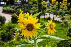желтый цвет солнцецвета солнца поздним летом цветка центра поля пчелы яркий Цветене поля солнцецвета полностью Стоковые Фотографии RF