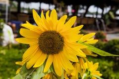 желтый цвет солнцецвета солнца поздним летом цветка центра поля пчелы яркий Цветене поля солнцецвета полностью Стоковое Фото