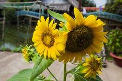 желтый цвет солнцецвета солнца поздним летом цветка центра поля пчелы яркий Цветене поля солнцецвета полностью Стоковая Фотография