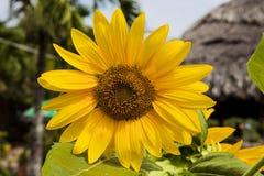 желтый цвет солнцецвета солнца поздним летом цветка центра поля пчелы яркий Цветене поля солнцецвета полностью Стоковые Изображения RF