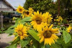 желтый цвет солнцецвета солнца поздним летом цветка центра поля пчелы яркий Цветене поля солнцецвета полностью Стоковое Изображение RF