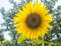 желтый цвет солнцецвета солнца поздним летом цветка центра поля пчелы яркий Солнцецвет с голубым небом и облаками Предпосылка лет Стоковые Изображения RF