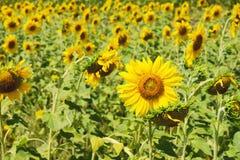 желтый цвет солнцецвета солнца поздним летом цветка центра поля пчелы яркий Аграрная предпосылка Стоковое Изображение RF