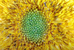 Желтый цвет солнцецвета цветочного сада изображения орнаментальный Стоковая Фотография RF