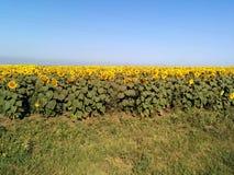 желтый цвет солнцецветов цветка поля флористический Стоковая Фотография