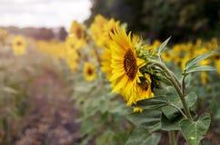 желтый цвет солнцецветов цветка поля флористический Стоковая Фотография RF