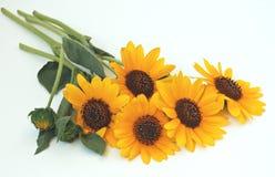 желтый цвет солнцецветов цветка поля флористический Стоковое Фото