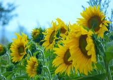 желтый цвет солнцецветов цветка поля флористический Стоковое Изображение RF