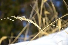 желтый цвет сухой травы стоковые фотографии rf