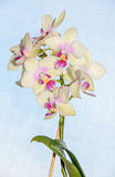 Желтый цвет с красным концом орхидеи вверх по ветви цветет, задняя часть сини Стоковое Изображение RF