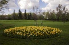 желтый цвет тюльпана сада Стоковые Фотографии RF