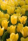 желтый цвет 01 тюльпана Стоковое Изображение RF