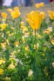 желтый цвет 01 тюльпана Стоковая Фотография RF