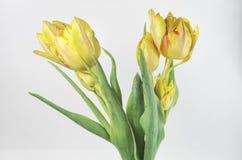 желтый цвет тюльпанов белый Стоковые Фотографии RF