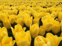желтый цвет тюльпанов поля Стоковые Фотографии RF