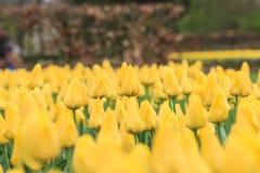 желтый цвет тюльпанов поля стоковые изображения rf