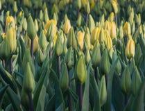желтый цвет тюльпанов поля Стоковое Изображение