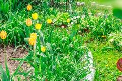 желтый цвет тюльпанов сада Стоковое Изображение